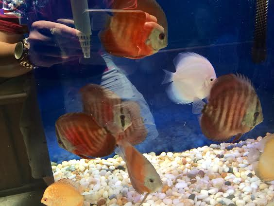 Rose Red Discus Pet Zone Tropical Fish San Diego