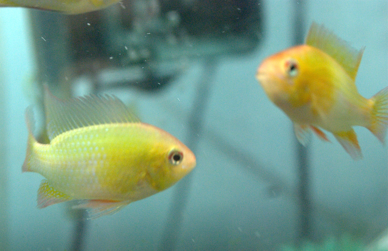 South American Cichlids German Gold Ram Papiliochromis