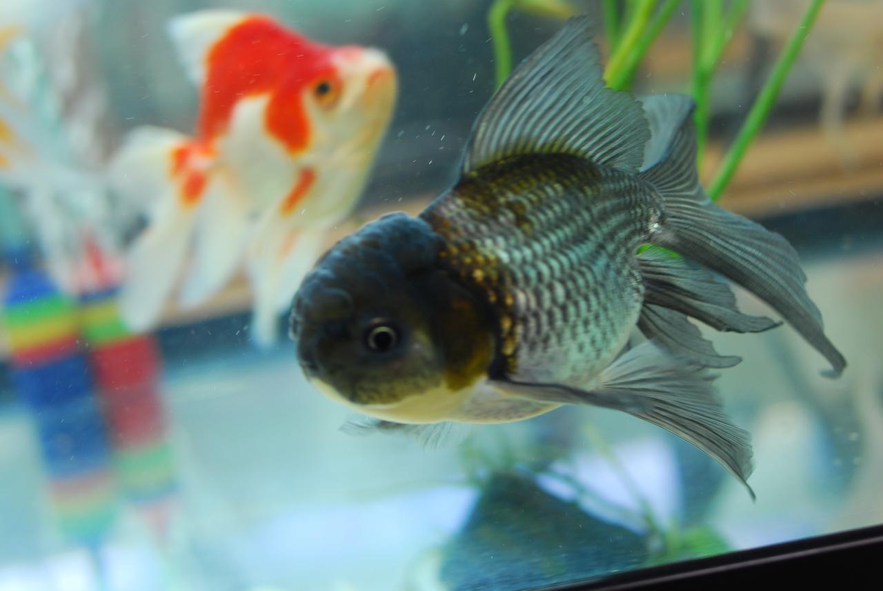 Goldfish For Sale Blue Oranda Goldfish