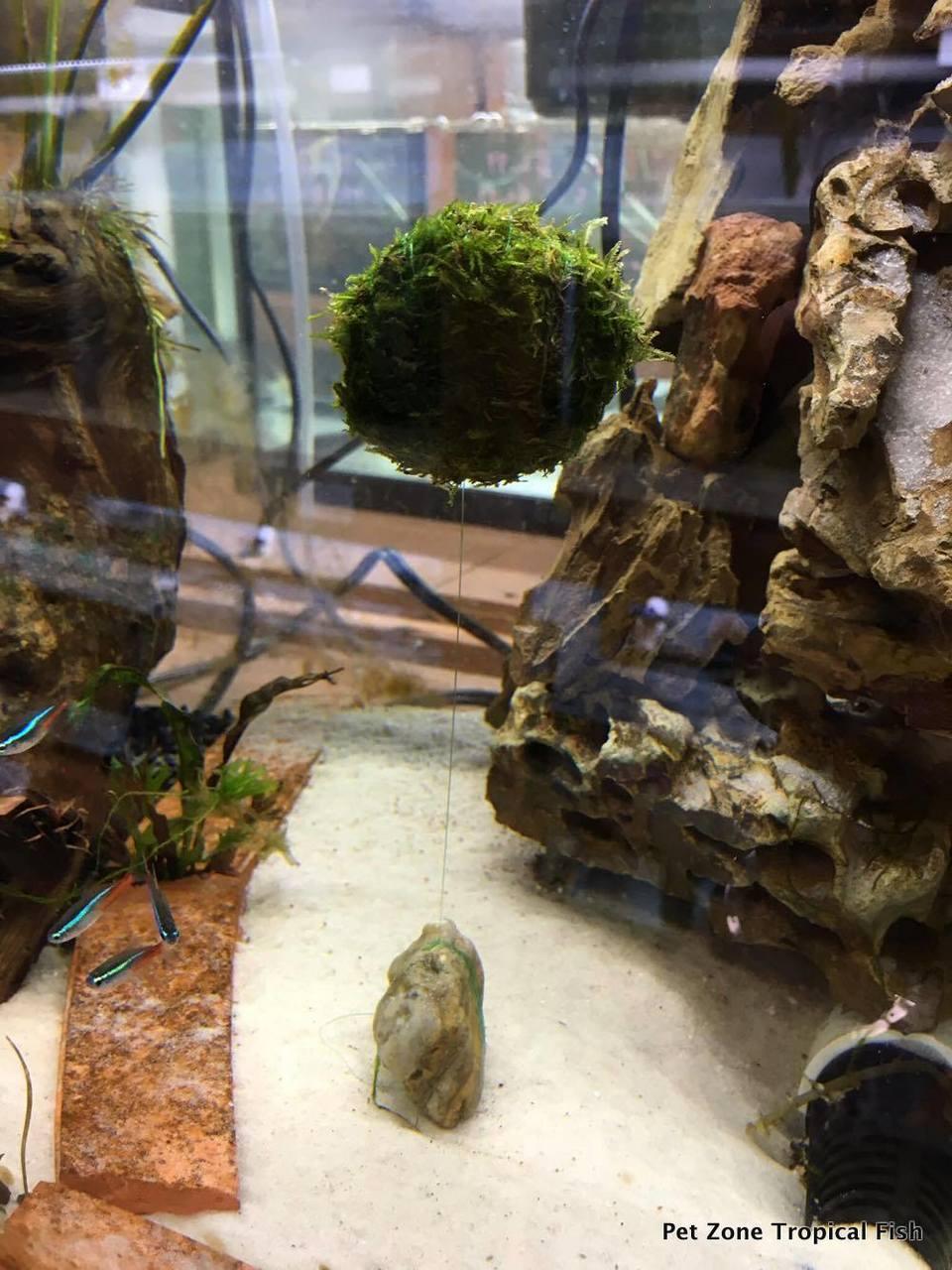 Freshwater Aquarium Plants Floating Moss Ball
