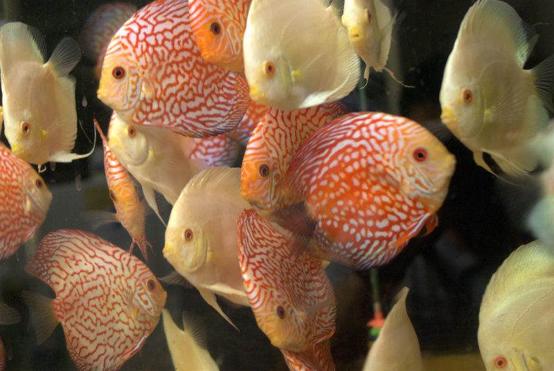 Freshwater Fish For Sale Checkerboard Pigeon Discus Medium