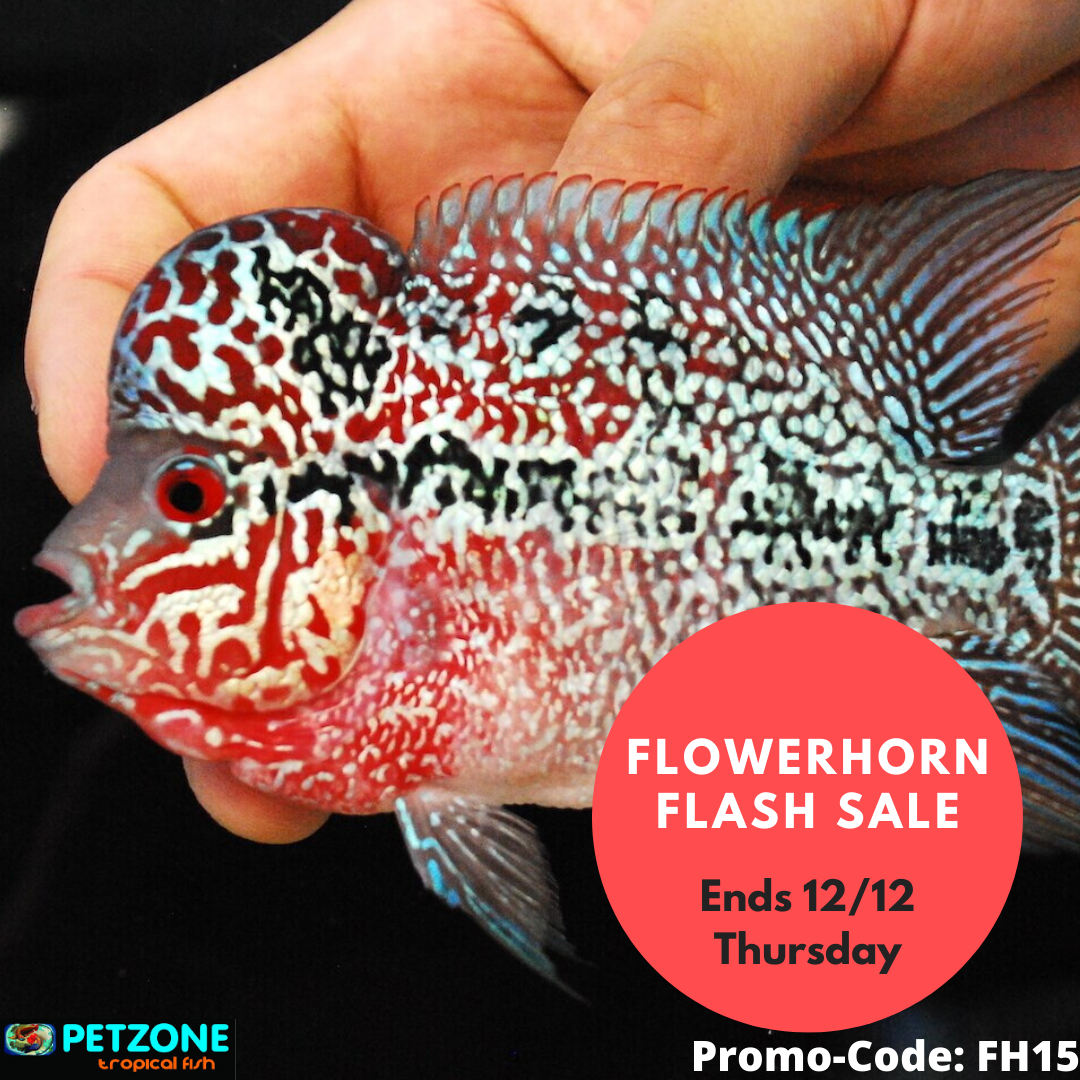 flowerhorn-flash-sale-pet-zone-sd.png