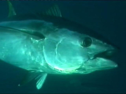 Scatri Simfish Additional Fish (Package: Select One Fish)