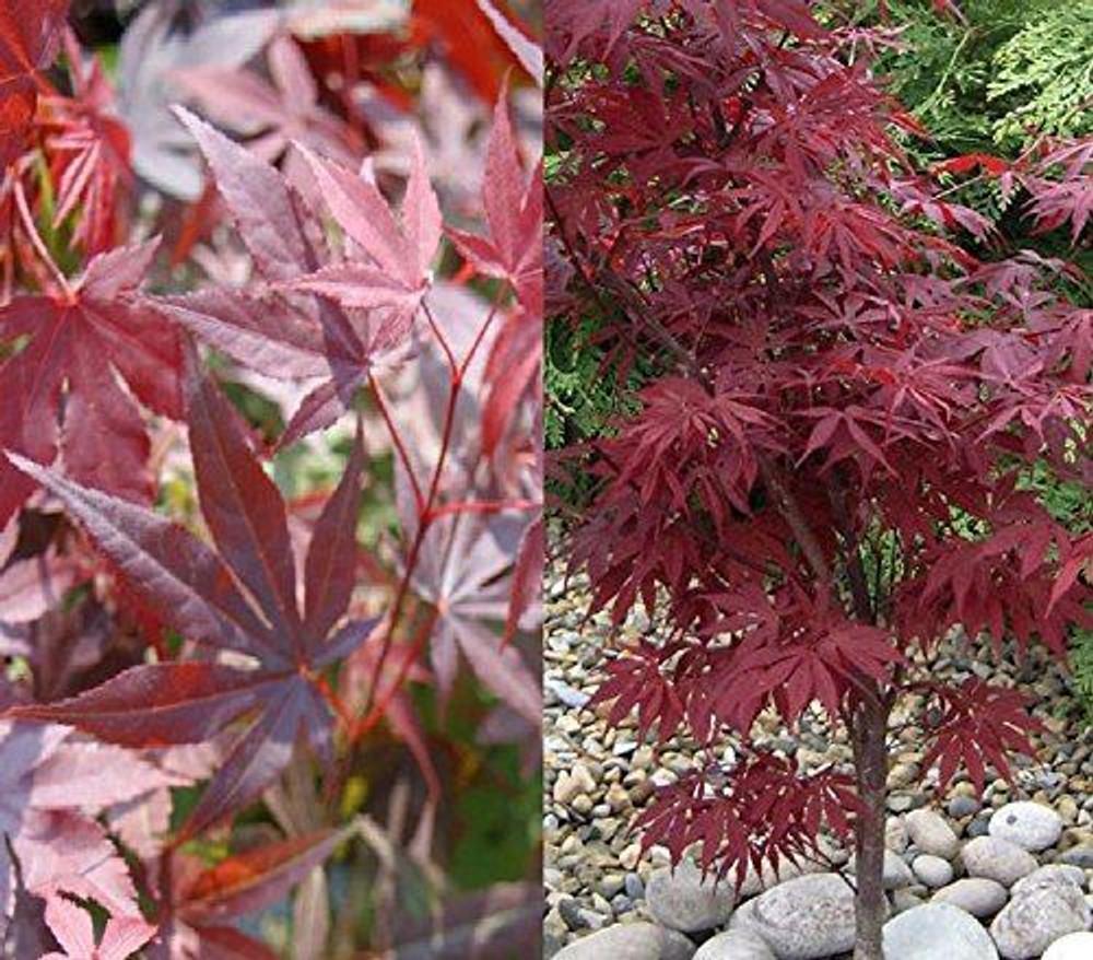 Acer Palmatum Atropurpureum Japanese Maple Plant Supplied In A 9cm