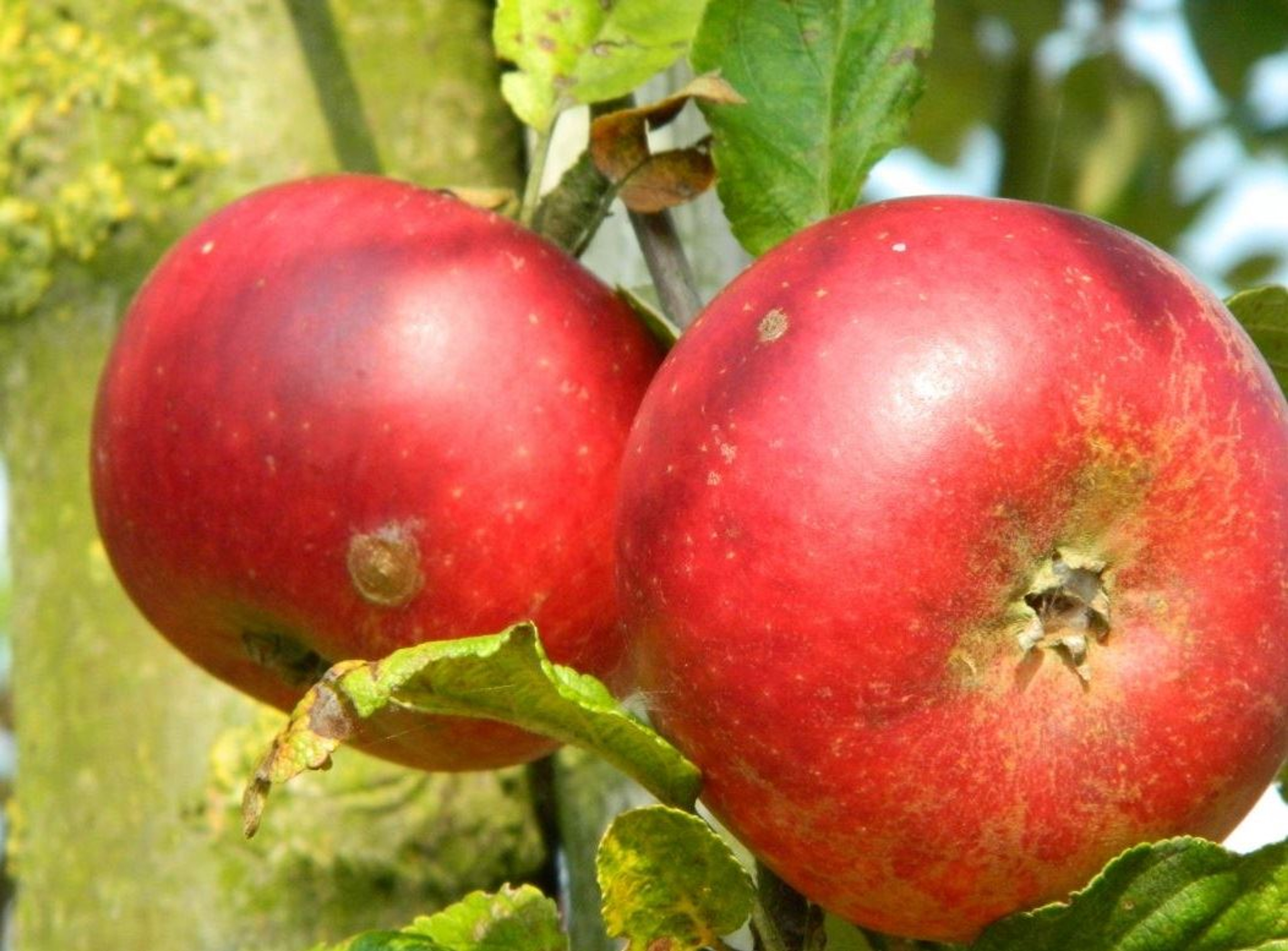 Dwarf Patio Discovery Apple Fruit Tree 3 4ft Supplied In A 5 Litre Pot Direct Plants