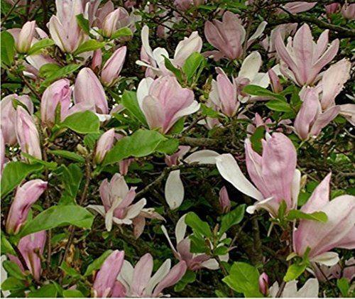 Plants Magnolias Direct Plants