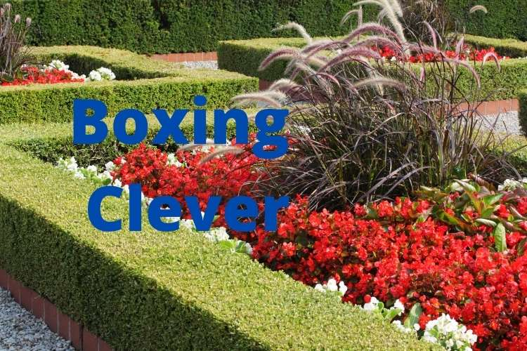 What is box hedging and how to plant it