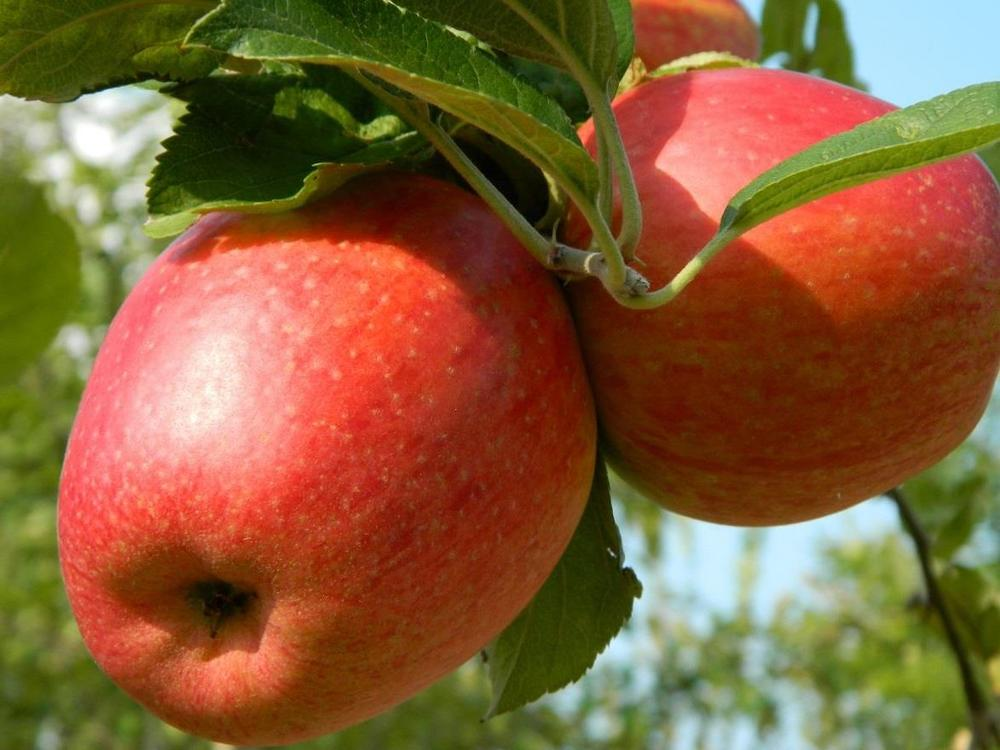 5 dwarf apple trees for your patio