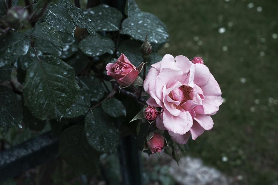Top tips on how to grow a climbing rose