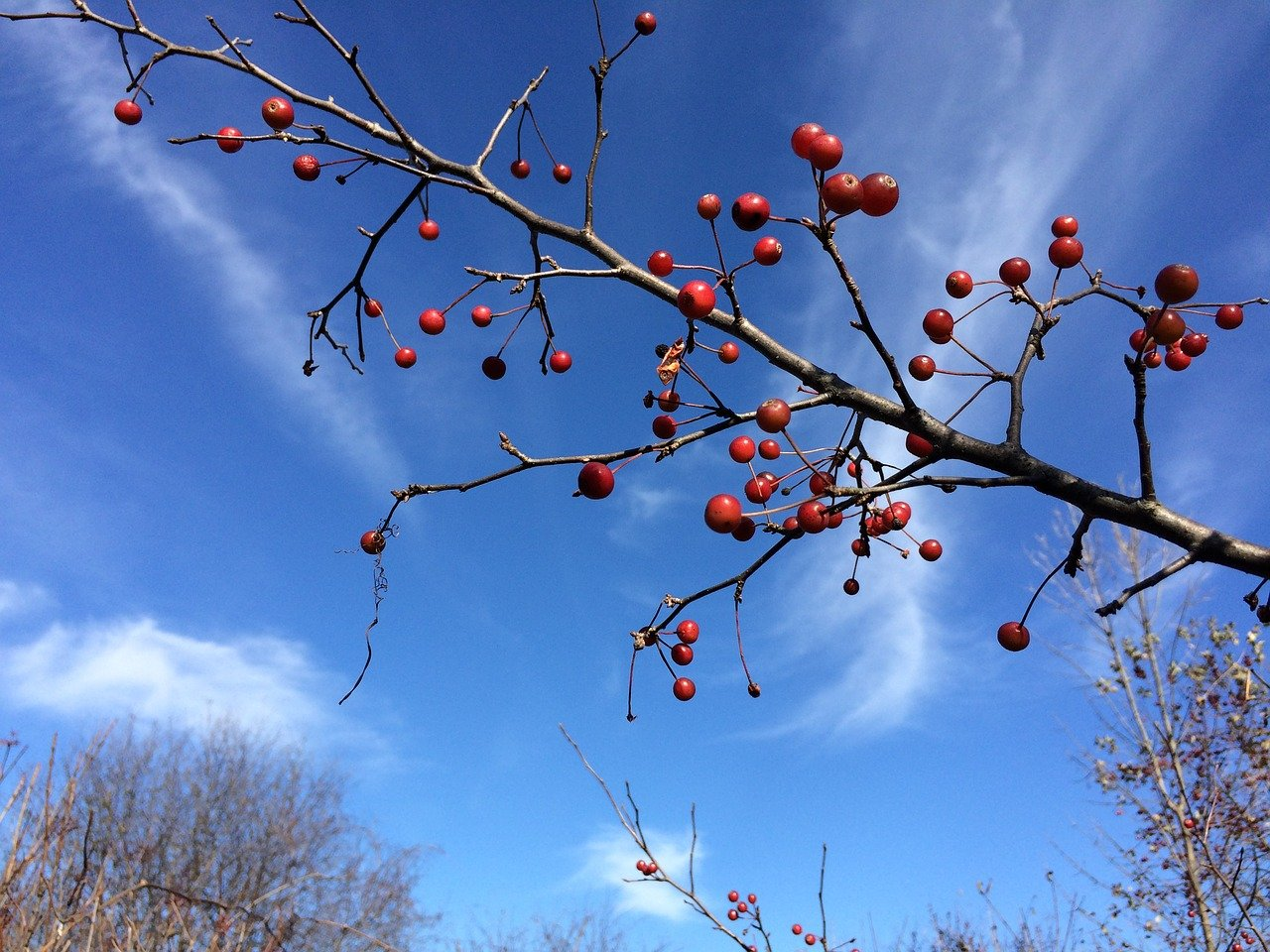 What is a flowering crab apple tree?
