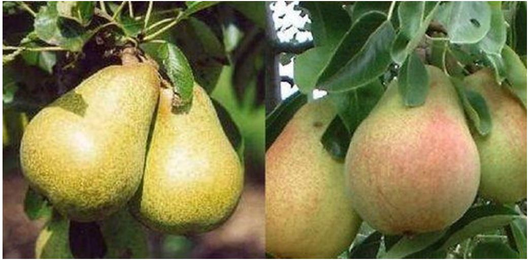 Best dwarf pear trees for small gardens