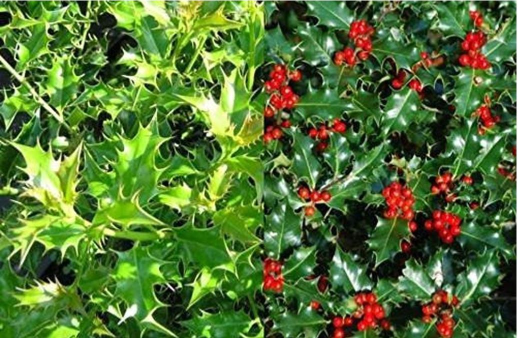 English holly hedging and why you should plant it