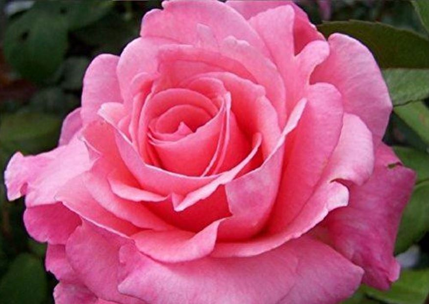 Why are roses so popular?