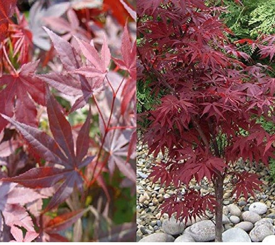 How to grow Japanese maples - Ask the Expert