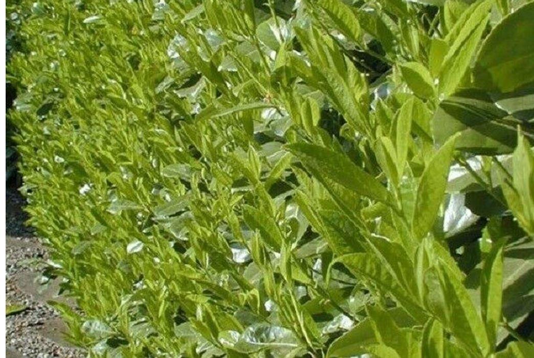 Popular Laurel hedging plants
