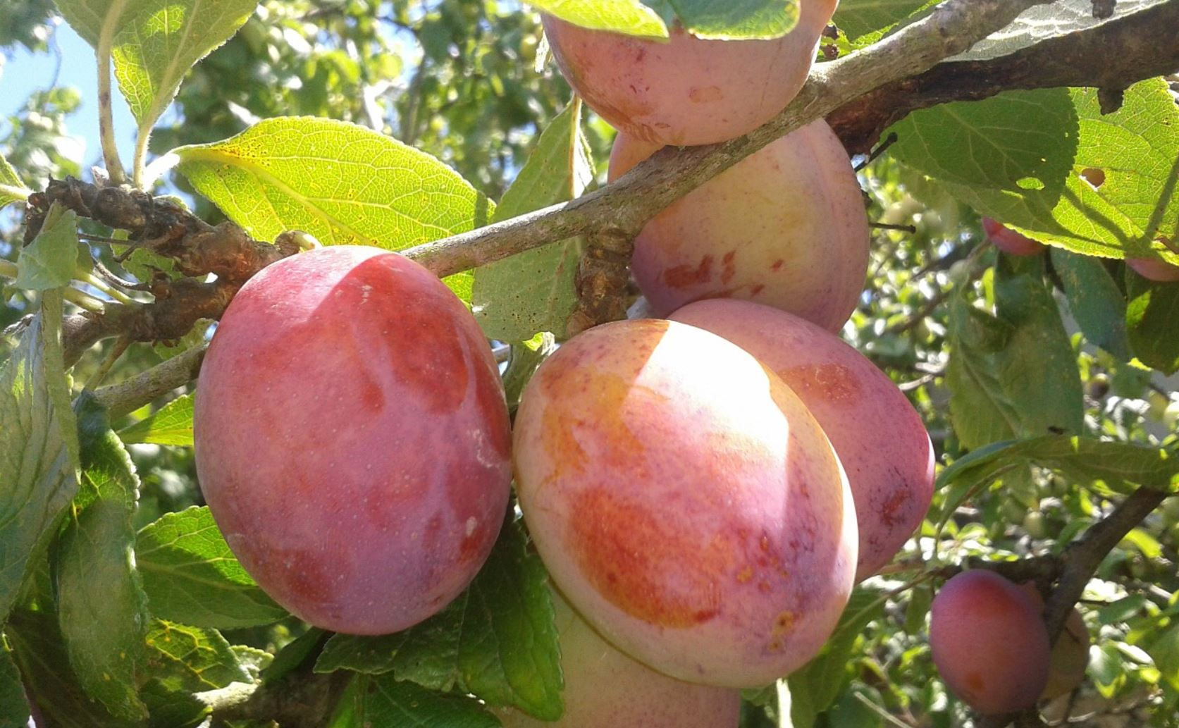 Easy to grow fruit trees for the garden