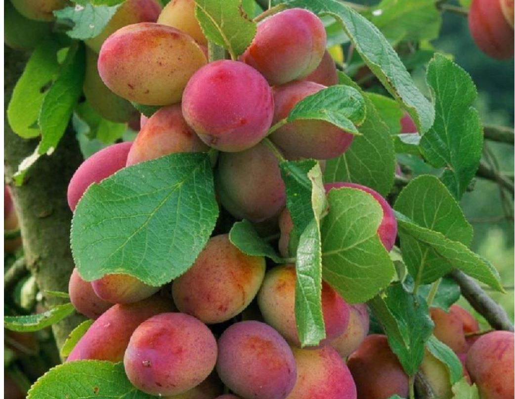 Why Victoria plum fruit trees are perfect for your garden