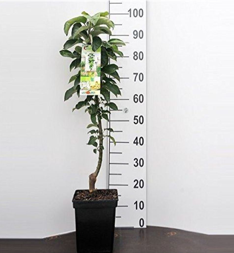 Elaeagnus angustifolia Oleaster in a 2 Litre Rigid Pot. Russian Olive