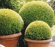Buxus and Topiary