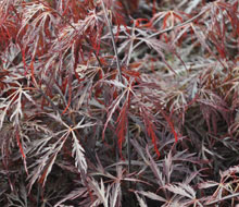 Acers and Maples