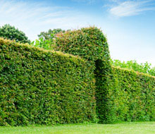 Hedging Trees