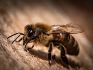 How do Honeybees Stay Warm in the Winter?