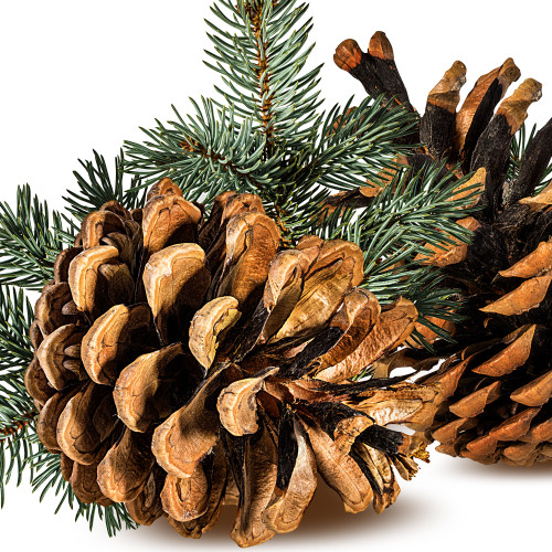 Pine Cones fragrance oil for soap and candle making from New York Scent