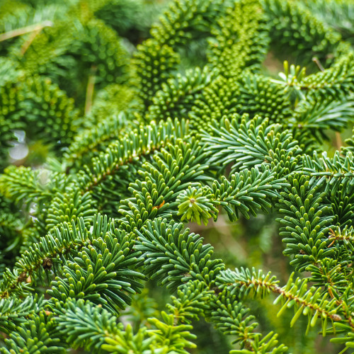 Fraser Fir Woods fragrance oil for soap and candle making from New York Scent