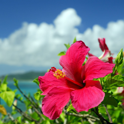 Island Hibiscus fragrance oil for soap and candle making from New York Scent