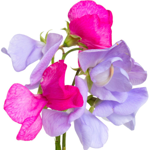 Garden Sweet Pea Flowers (YC Type) Fragrance Oil for Soap and Candle Making from New York Scent