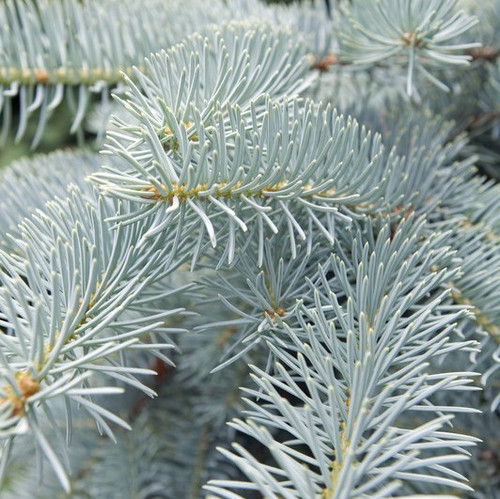 Silver Spruce & Empress Peach fragrance oil for soap and candle making from New York Scent