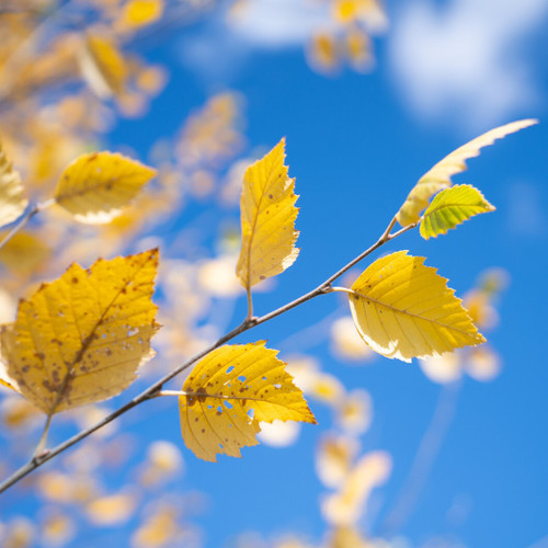 Crisp Autumn Breeze Fragrance Oil from New York Scent. For use in making cosmetics and candles.