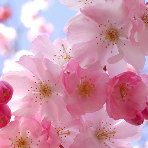 Japanese Cherry Blossom (BBW Type) Fragrance Oil for Candle and Soap Manufacturing from New York Scent
