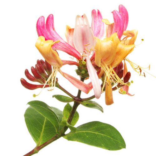 Honeysuckle & White Patchouli fragrance oil from New York Scent. For candles and soap making. Skin Safe