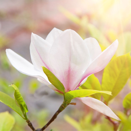 Golden Magnolia (BBW type) fragrance oil from New York Scent. For candles and soap making.