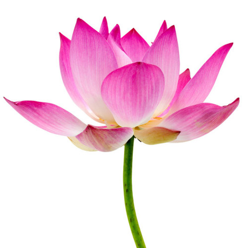Pepperberry Waterlily fragrance oil from New York Scent. For candles and soap making. Skin Safe