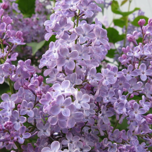 Lilac Flowers fragrance oil from New York Scent. For candles and soap making.