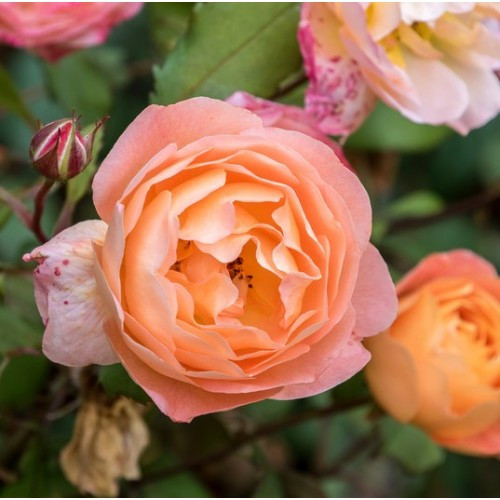 Apricot Rose Yankee Candle type fragrance oil for soap and candle making from New York Scent.