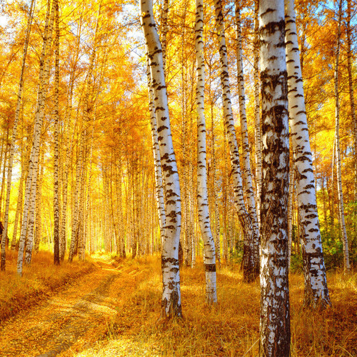 Vanilla Birch (BBW type) Fragrance Oil for Candle and Soap Making from New York Scent