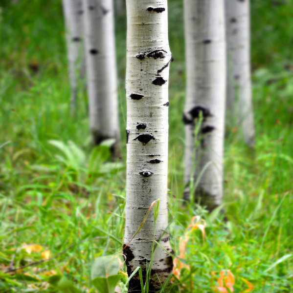 White Birch Fragrance Oil for Candle and Soap Making from New York Scent