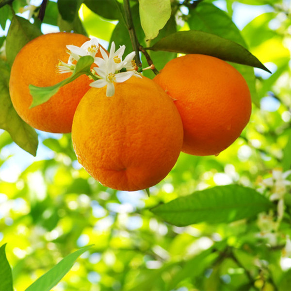 Orange Blossom (JoMalone Type) Fragrance Oil for Soap and Candle Making from New York Scent