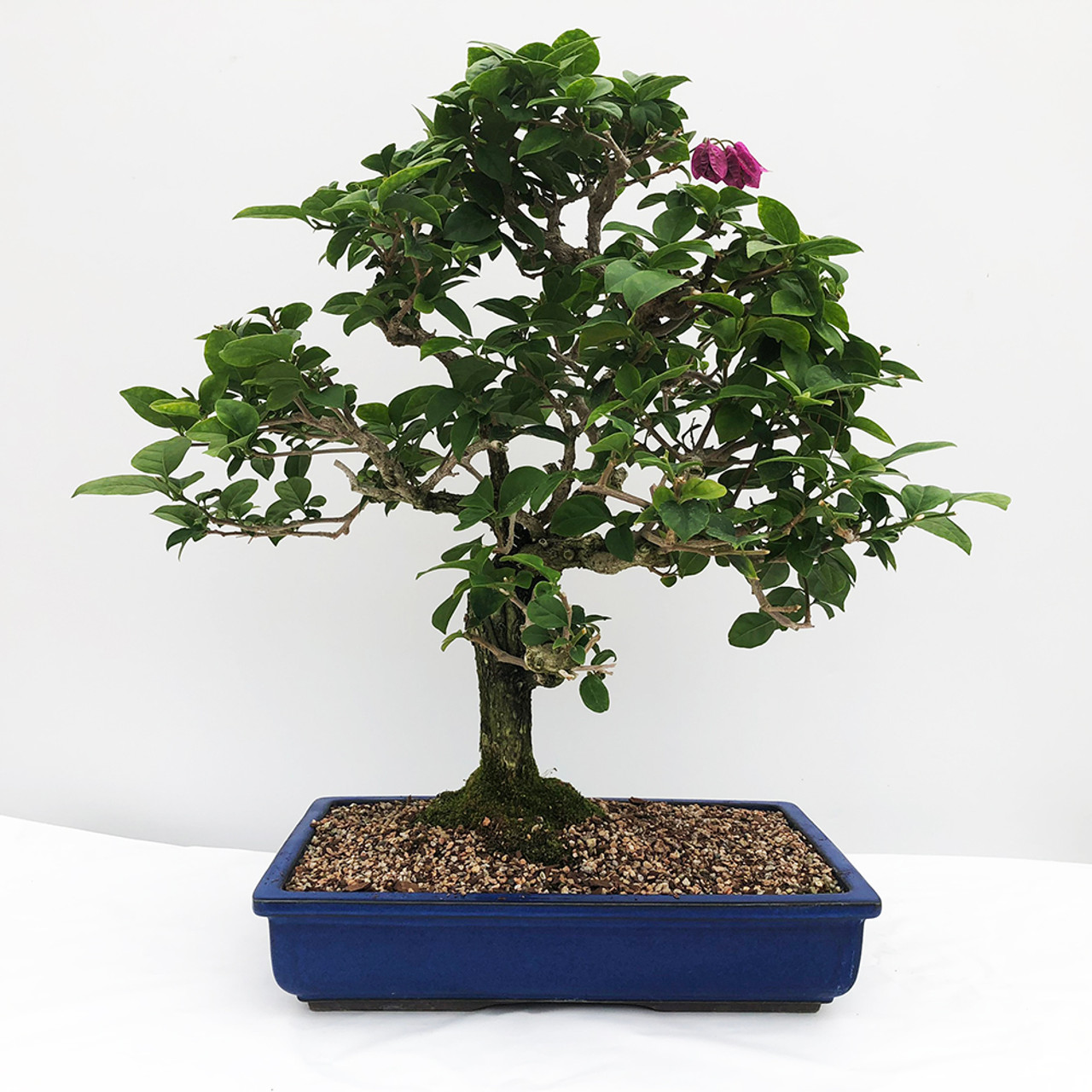Flowering Bougainvillea Bonsai Tree New England Bonsai Gardens