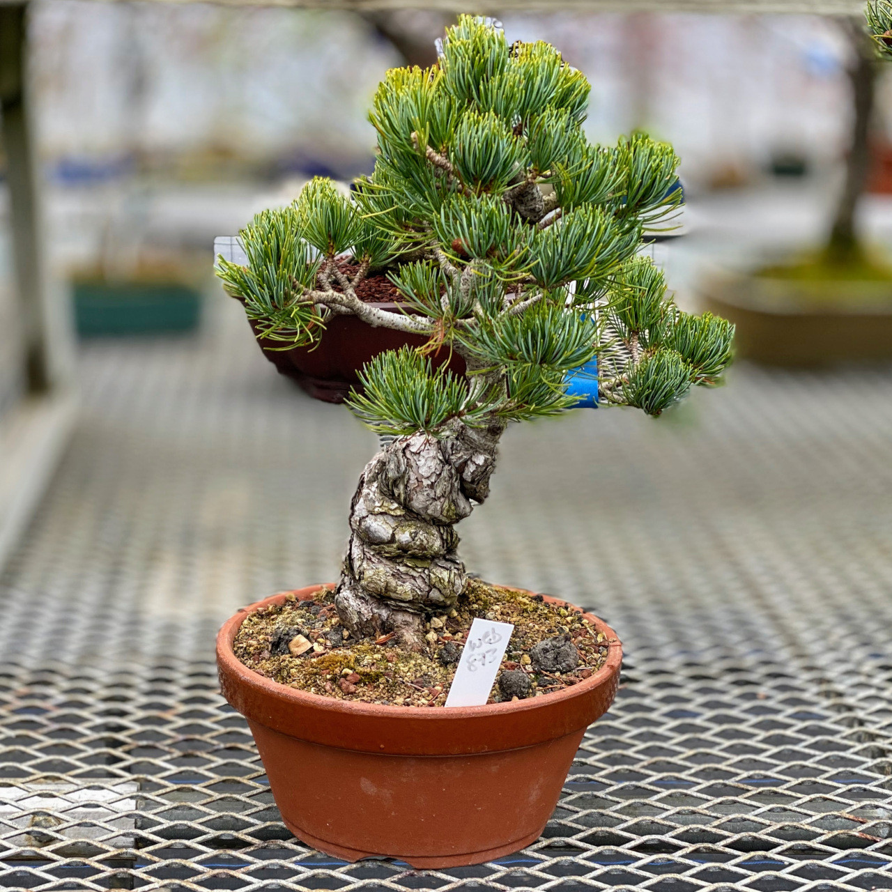 Imported Japanese White Pine Bonsai Tree New England Bonsai Gardens