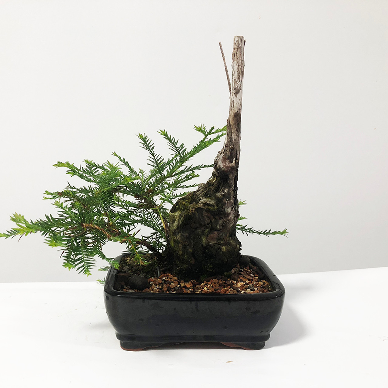 Collected Metasequoia Redwood Bonsai Tree New England Bonsai Gardens