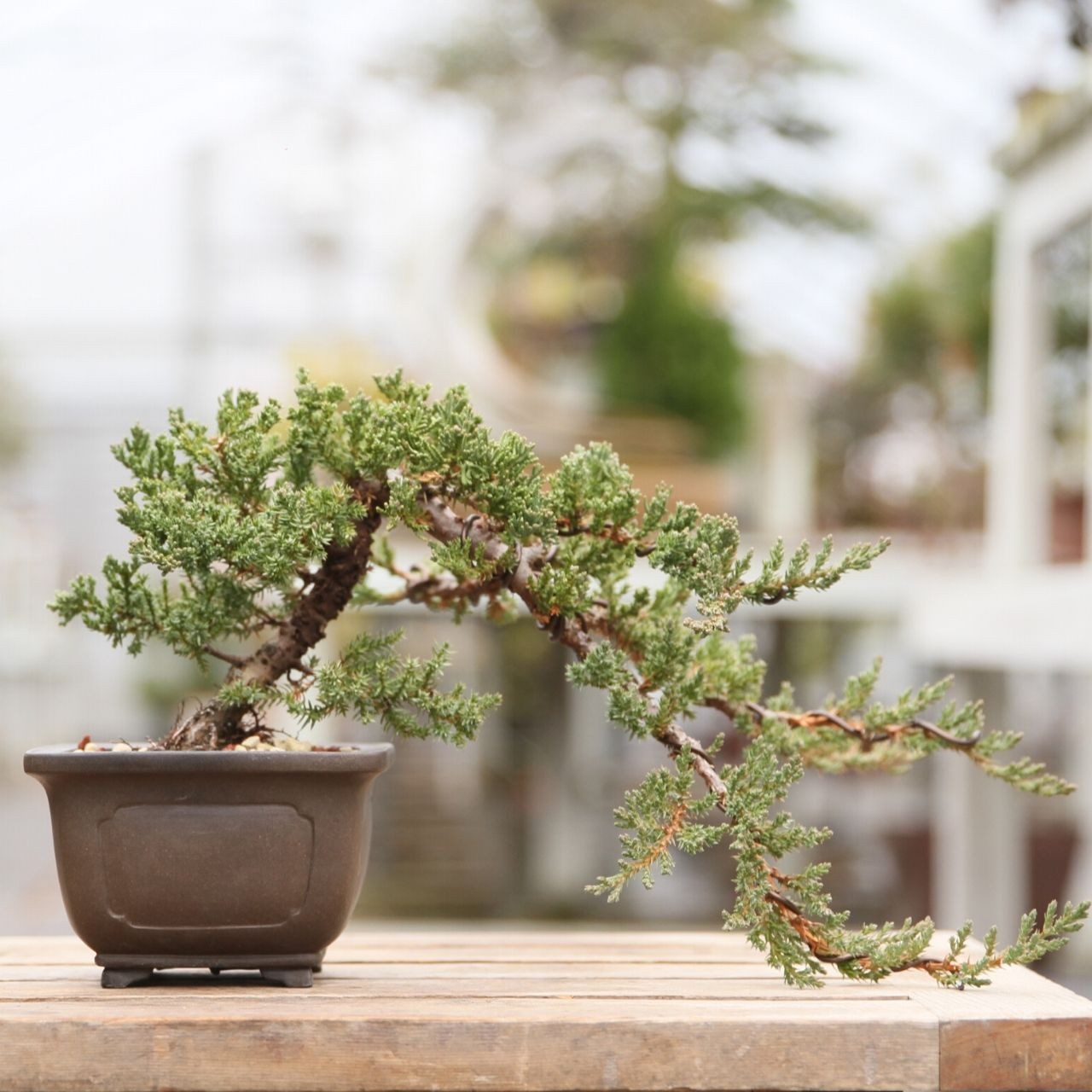 Cascade Juniper In A 5 25 Pot New England Bonsai Gardens