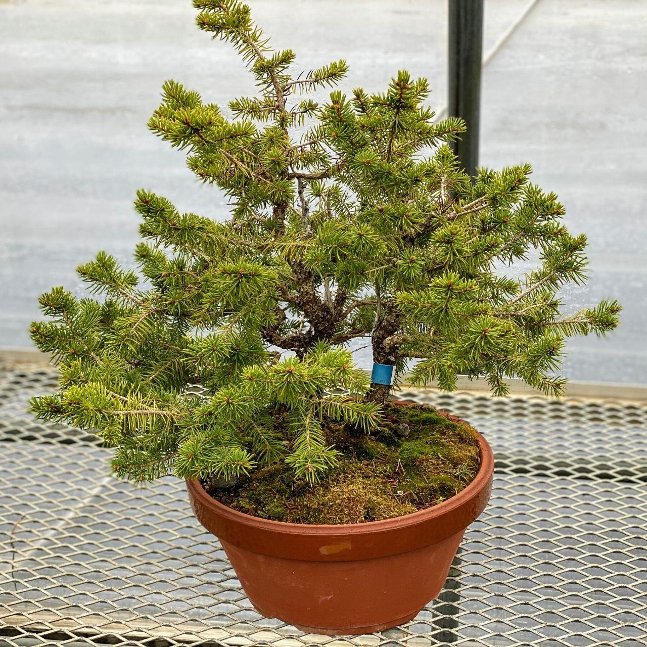 Large Collected Spruce Bonsaioutlet Com
