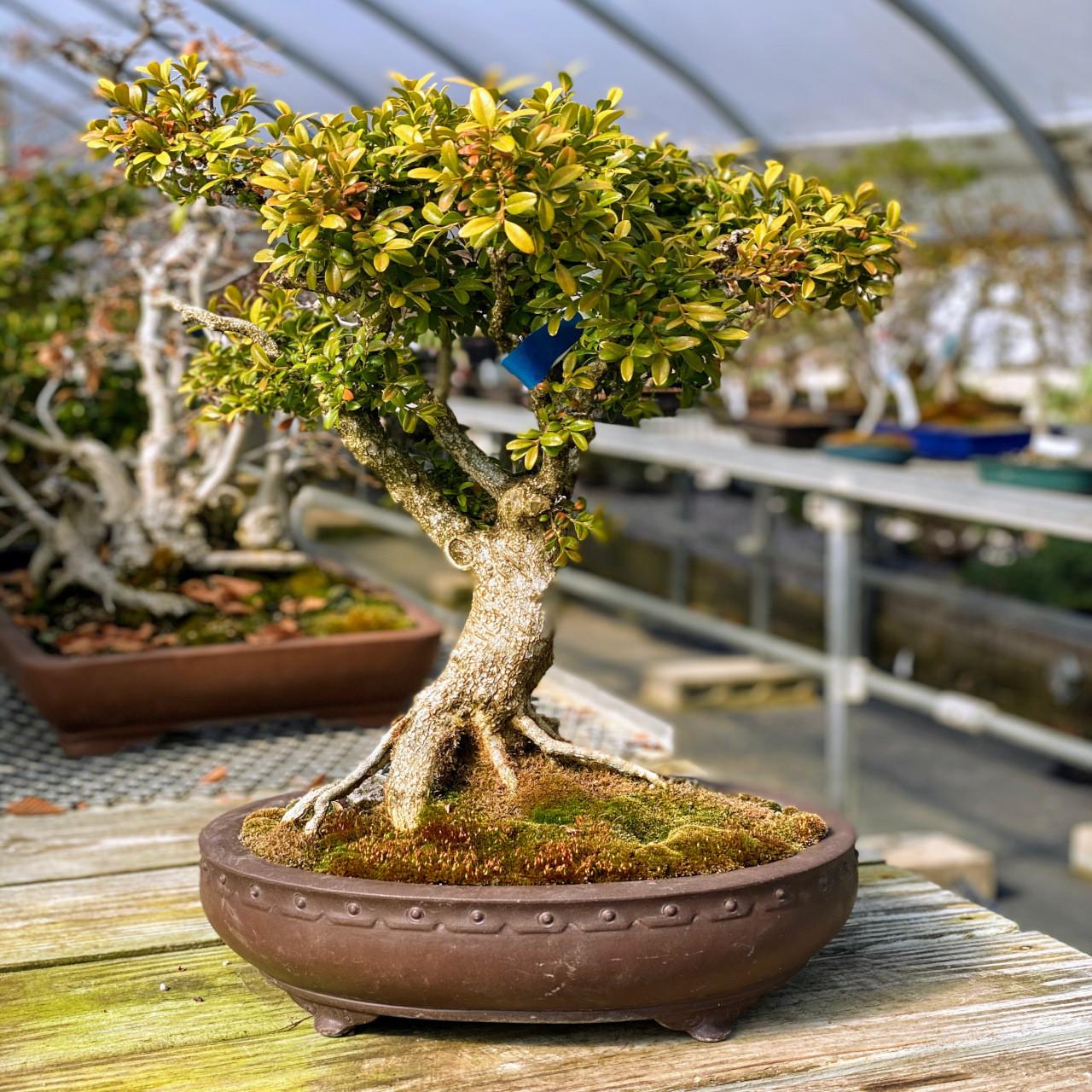Kingsville Boxwood Bonsai New England Bonsai