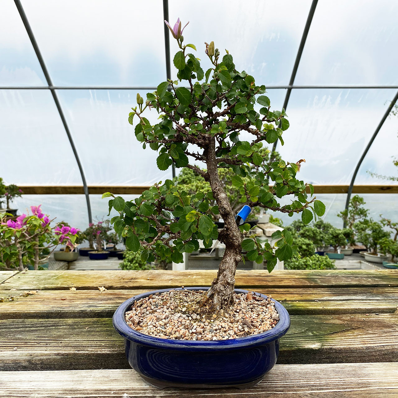Lavender Star Bonsai Tree New England Bonsai Uk 2