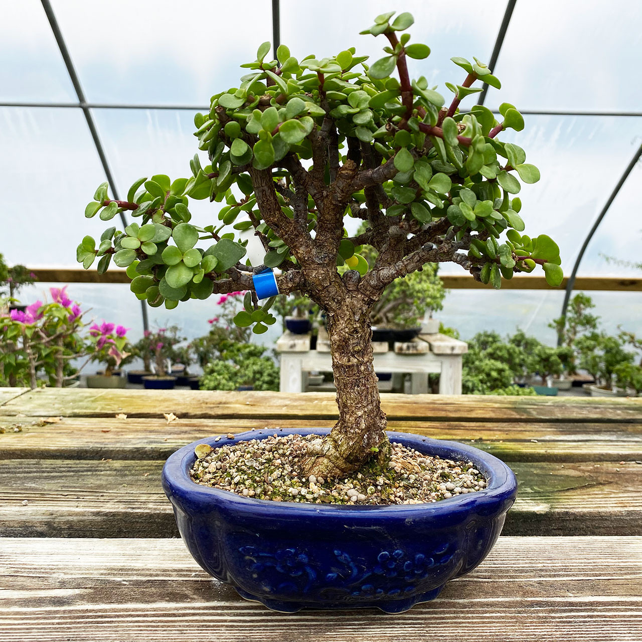 Dwarf Mini Jade Bonsai Tree New England Bonsai Gardens Uk 10