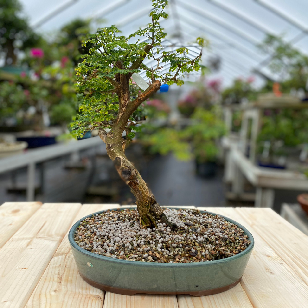 Brazilian Rain Tree Bonsai Tree New England Bonsai Web1389
